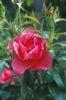 Rosa 'TWOadvance'