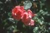 Rosa 'JACclam'
