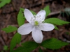 Anemone spp.