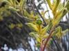 'Big Roo Yellow' flowers