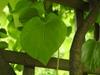 Aristolochia tomentosa front leaf