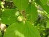 Aristolochia tomentosa flower bud