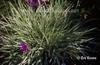 Arrhenatherum elatius subsp bulbosum