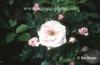 Rosa 'KORfullwind'