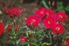 Rosa 'Beauty Secret'