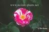 Rosa 'POULclimb'