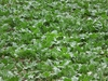 field of Beta vulgaris