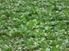 field of Beta vulgaris