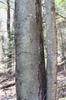 Betula lenta bark