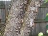 Betula nigra bark