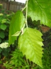 Betula nigra leaf attachment
