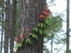 Bignonia capreolata in summer in Moore County