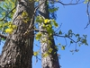 blackjack oak form in spring brunswick nature park skdavidson
