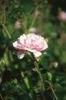 Rosa 'MELdomonac'