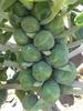 Brassica oleracea (Gemmifera)