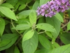 Buddleja 'Blue Chip Jr' leaves