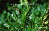 Photo of Buxus harlandii