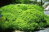 Buxus microphylla = B. sinica