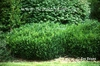 Buxus sempervirens 'Vardar Valley'