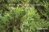 Calocedrus decurrens branch