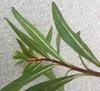 Cuphea micropetala
