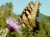 Yellow swallowtail sipping nectar from a thistle bloom.