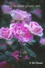 Rosa 'MELpitac'