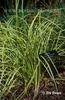 Carex dolichostachya 'Kaga Nishiki'