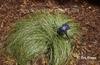 Carex albula 'Frosty Curls'