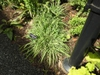 Carex laxiculmis 'Bunny Blue' creeping sedge