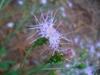 Carphephorus bellidifolius
