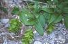 Photo of Carpinus orientalis
