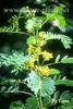 Cassia hebercarpa