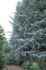 Photo of Cedrus atlantica 'Glauca'