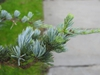 Cedrus atlantica needles 2