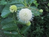 Snowball like Flower in June (Craven County, NC)