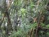 'Fastigiata' branches