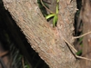 'Fastigiata' bark