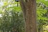 Cercidiphyllum japonicium bark