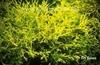 Chamaecyparis pisifera 'Golden Mop'