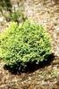 Chamaecyparis pisifera 'Plumosa Aurea'