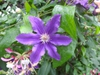 Clematis 'marcelina' late large flowered