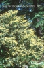 Photo of Clethra fargesii