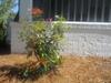 cleyera japonica form by skdavidson