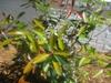 cleyera japonica leaf skdavidson