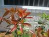 cleyera japonica new leaf by skdavidson