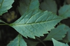 Coreopsis latifolia