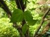 Cornus mas leaf