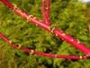 Cornus sericea red stem