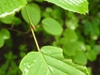 Corylopsis spicata bud